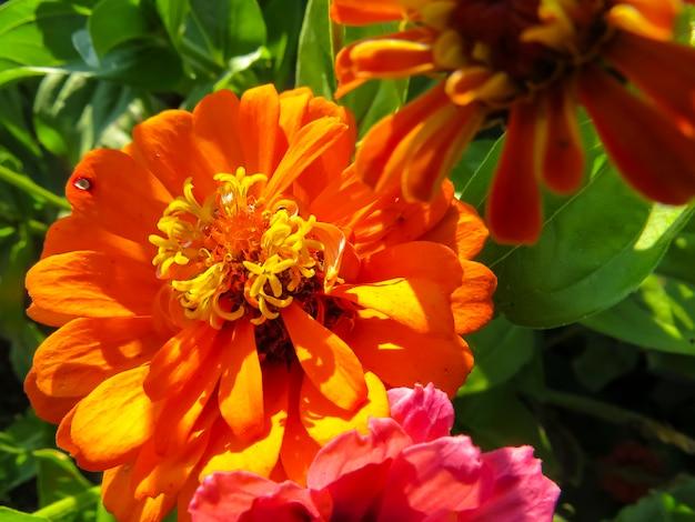 Zinnia flower in garden