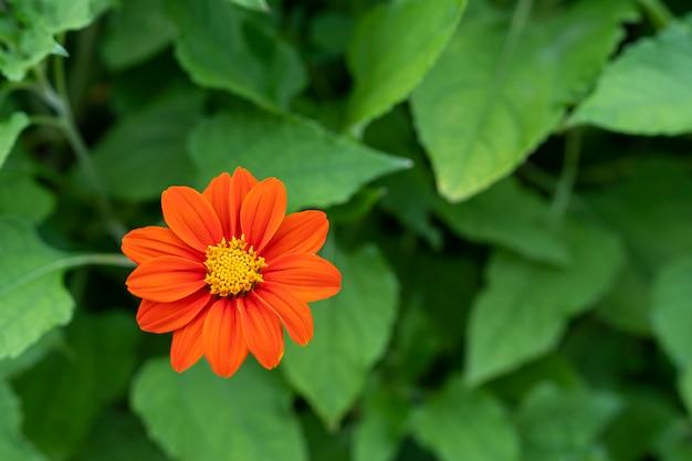 Цветок циннии или молодость и старость (zinnia elegans) красивые цветы распускаются ярко-красными с зелеными листьями. бесплатная копия пространства.