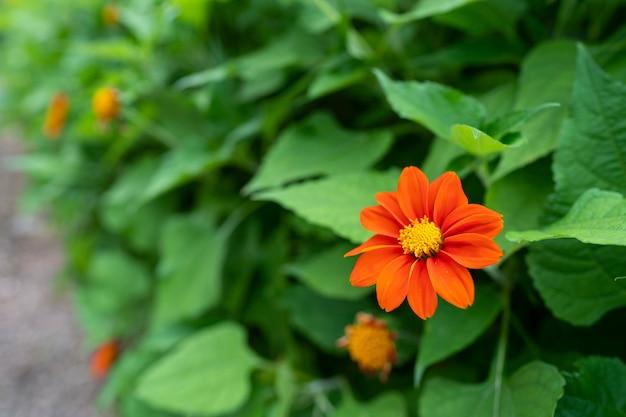 Цветок циннии или молодость и старость (zinnia elegans) красивые цветы распускаются ярко-красными с зелеными листьями.