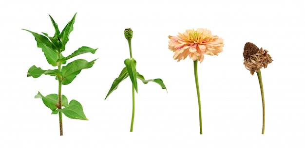 Zinnia flower stalk with green leaves, flowering and wilted bud