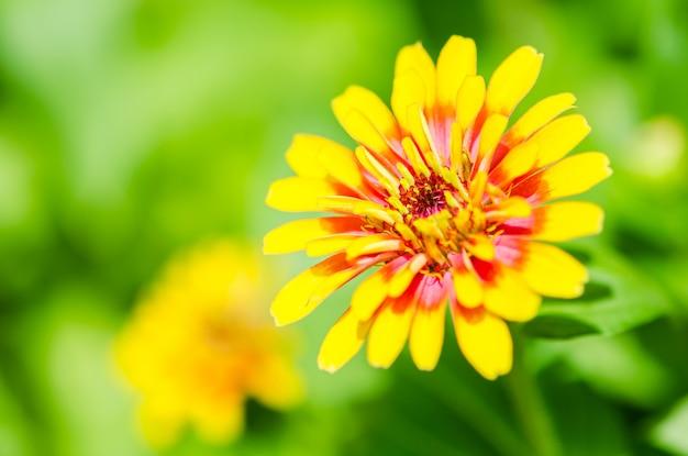 Zinnia flower (zinnia violacea cav.)
