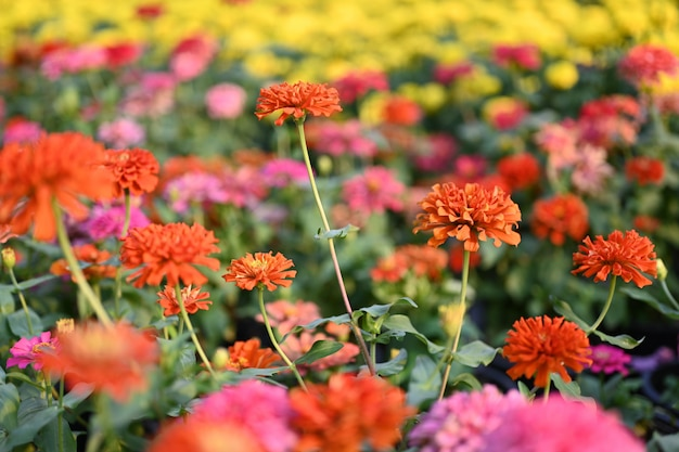 Zinnia flower or zinnia violacea plants of the sunflower tribe within the daisy family.
