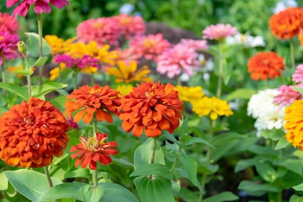 Zinnia flowers in the garden is a popular flower.