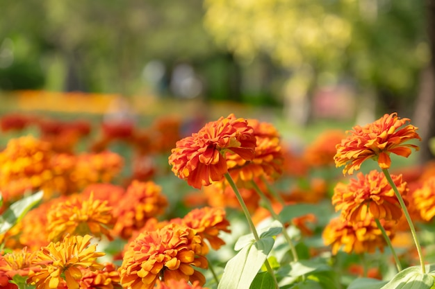Zinnia flowers is a popular flower grown in the house and the place