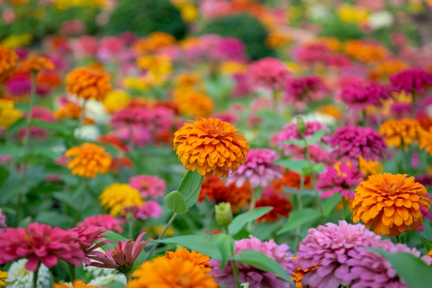 Zinnia flowers is a popular flower grown in the house