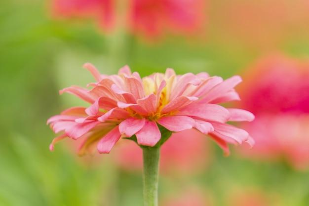 Цинния - это род растений подсолнечника в семействе ромашек.