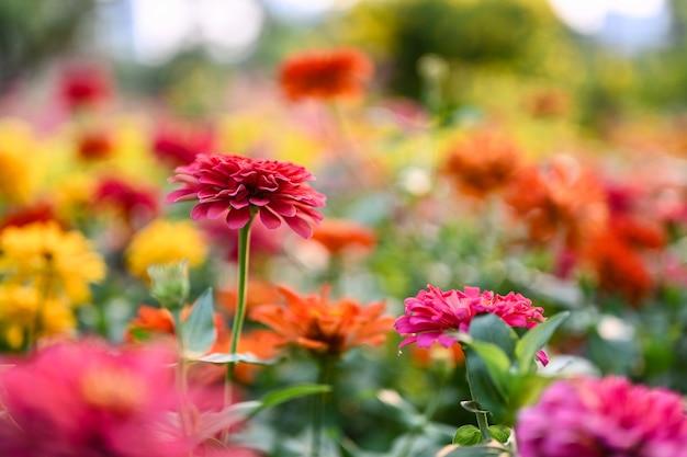 Цинния цветок или растения zinnia violacea племени подсолнечника в семье ромашки.