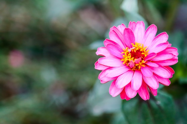 Zinnias magenta color blooming and blur leaves background