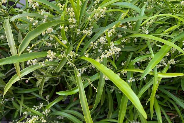 蚊よけ植物として知られている家庭用観賞植物であるゾディア植物(evodia suaveolens)