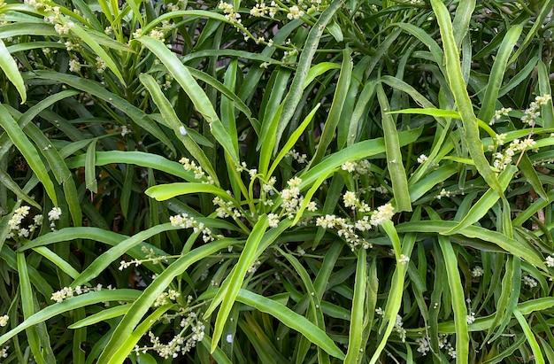 Зодиа (evodia suaveolens), домашнее декоративное растение, известное как растение, отпугивающее комаров.