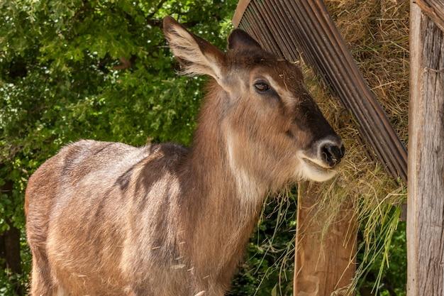 Зоопарк. антилопа на фоне зеленого