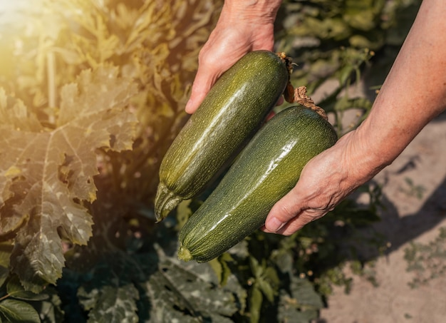 Zucchini from organic eco kitchen garden fresh green harvest of courgette vegatables in hands