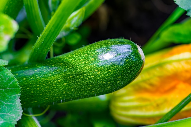 Zucchini plant. zucchini flower. green vegetable marrow growing on bush