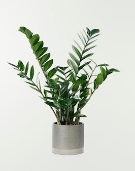 灰色のポットのzz植物