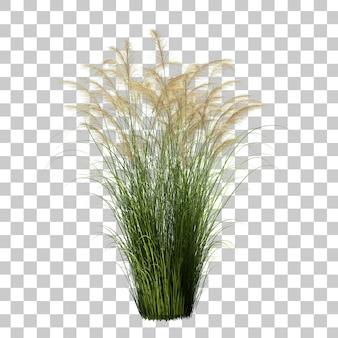 3d rendering of maiden silvergrass