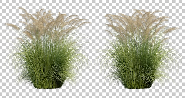 3d rendering of maiden silvergrass
