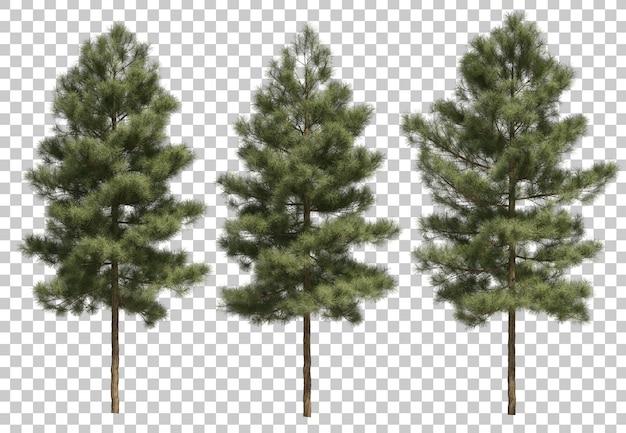 Pinus canariensis의 3d 렌더링