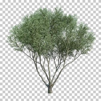 3d rendering of olive tree