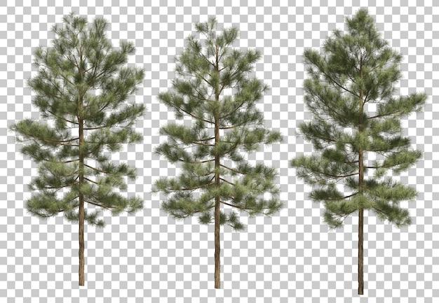 3d rendering of pinus canariensis