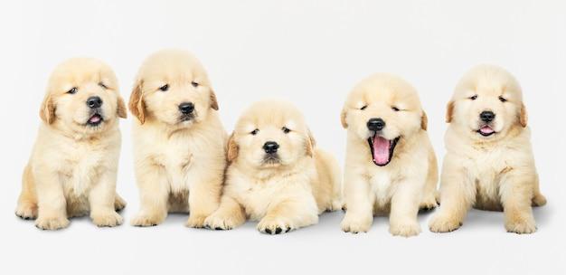5つの愛らしいゴールデン・リトリーバーの子犬の肖像画