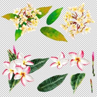 フランジパニの花の水彩画