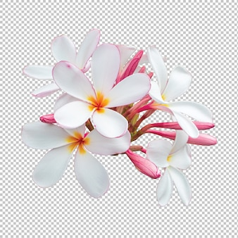 透明に分離されたホワイトピンクの花束プルメリアの花