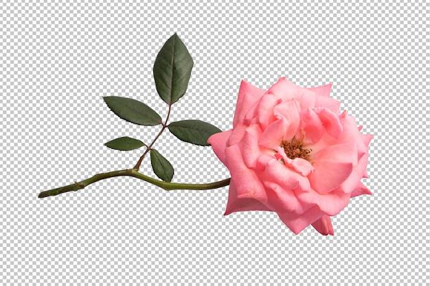 透明のピンクのバラの花