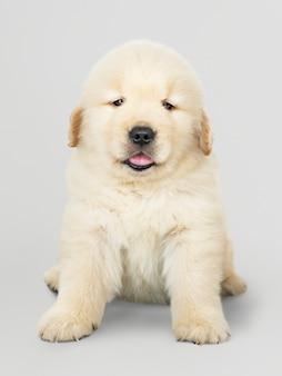 Портрет очаровательного щенка золотистого ретривера