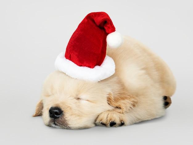 サンタの帽子をかぶっている間眠っている愛らしいゴールデンレトリーバーの子犬
