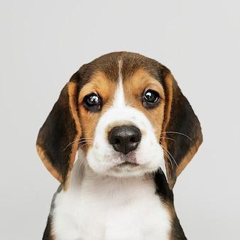 愛らしいビーグル子犬のソロの肖像画