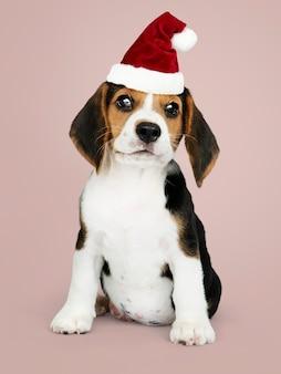 サンタの帽子をかぶった愛らしいビーグル子犬