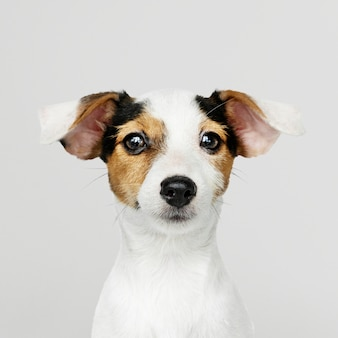 Очаровательный портрет щенка джек рассел ретривер