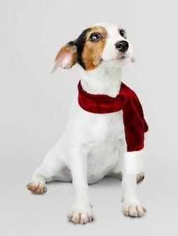 クリスマスのスカーフを身に着けている愛らしいジャックラッセルレトリーバー子犬