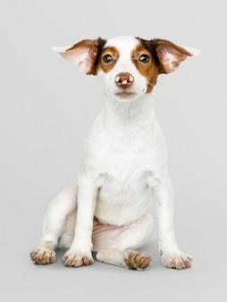 愛らしいジャックラッセルレトリーバー子犬の肖像画