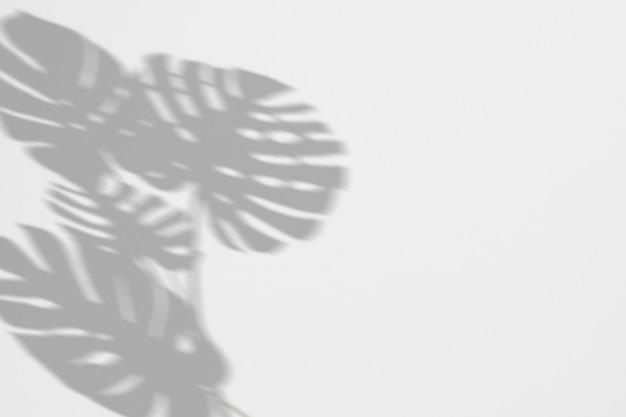 白い壁に熱帯熱帯モンステラ葉を影します。