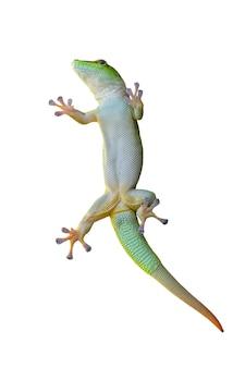 Зеленая ящерица геккон