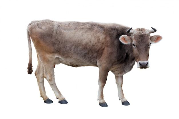 白い背景の上の牛