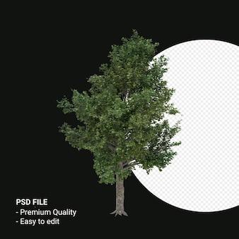 에이서 saccharum 또는 설탕 단풍 나무 3d 렌더링 투명 배경에 고립