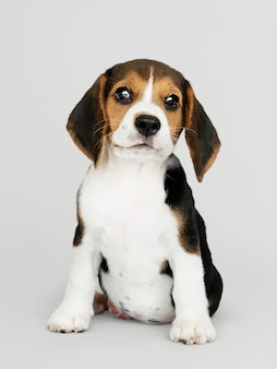 Adorable beagle puppy solo portrait