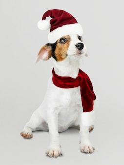 Adorable jack russell retriever puppy wearing a christmas hat