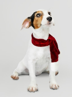 Adorable jack russell retriever puppy wearing a christmas scarf