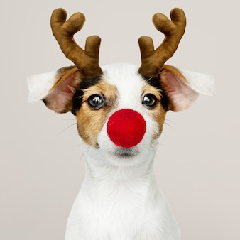 Adorable jack russell retriever puppy wearing a reindeer antler
