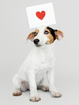 Adorable jack russell retriever puppy with a love letter mockup