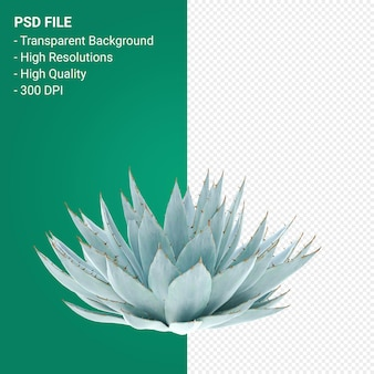 Agave parryi 3d render isolated on transparent background