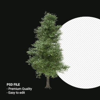 Alnus cordata 또는 이탈리아 알더 나무 3d 렌더링 투명 배경에 고립
