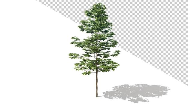 Американский платан с изолированным деревом 3d визуализации
