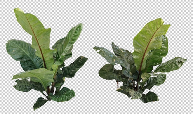 Anthurium salvini giant birds nest tree set isolated
