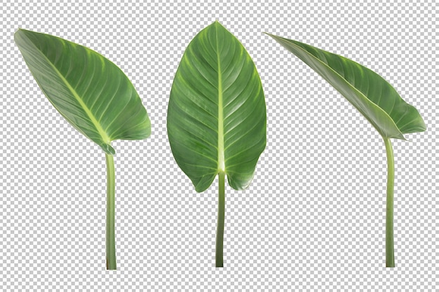 Anthurium veitchii leaves isolated. ornamental plant object