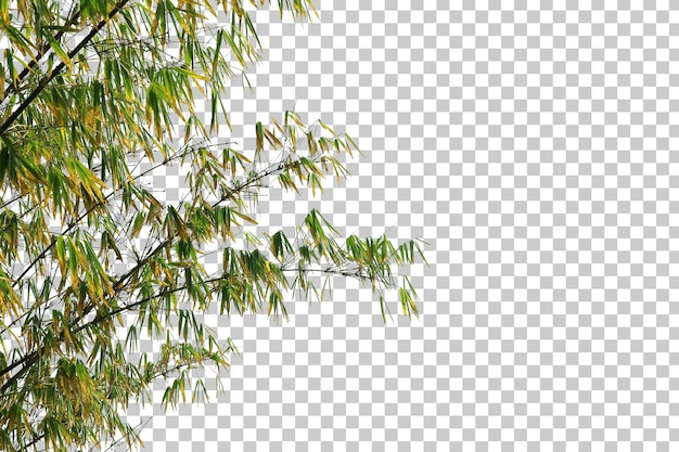 Bamboo leaves and branch foreground isolated