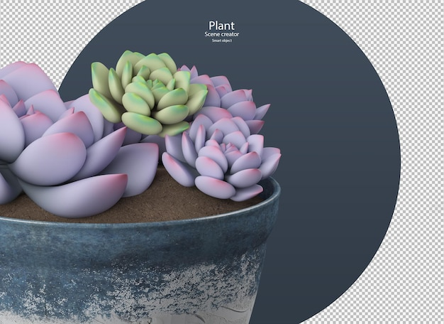 Beautiful various colors of echeveria plant isolated clipping path